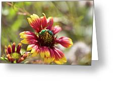 Bee On Gaillardia Greeting Card
