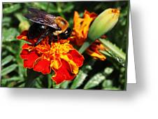 Bee On Marigold Greeting Card by William Selander