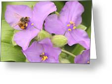 Bee On Purple Spiderwort Greeting Card