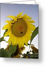 Bee On Sunflower 5 Greeting Card