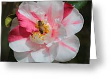 Bee On White And Pink Camellia Greeting Card