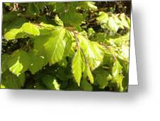 Beech Hedge In Spring Greeting Card