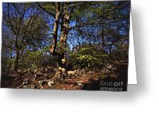 Beech Trees Coming Into Leaf  In Spring Padley Wood Padley Gorge Grindleford Derbyshire England Greeting Card