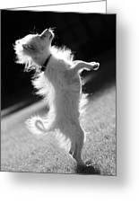 Begging Dog Black And White Greeting Card