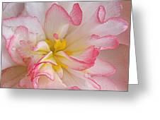Begonia Pink Frills - Horizontal Greeting Card