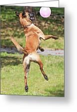Belgian Shepherd Dog Greeting Card