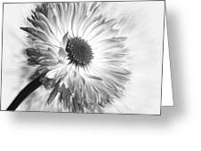 Bellis In Mono  #flower #flowers Greeting Card