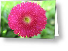 Bellis Perennis Greeting Card