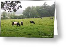 Belted Galloways 2 Greeting Card