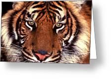 Bengal Tiger - 2 Greeting Card
