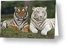 Bengal Tiger Team Greeting Card