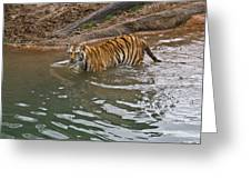 Bengal Tiger Wading Stream Greeting Card