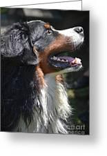 Bernese Mountain Dog Basking In The Sunshine Greeting Card