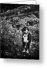 Bernese Mountain Dog Black And White Greeting Card