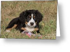 Bernese Mountain Dog Puppy Greeting Card