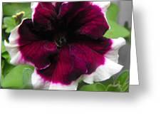 Bi-color Petunia Flower  Greeting Card