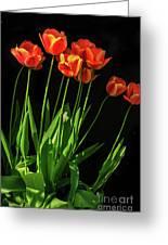 Bicolor Tulips Greeting Card