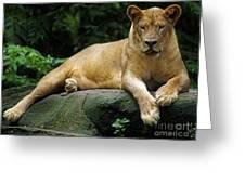 Big Cats 114 Greeting Card