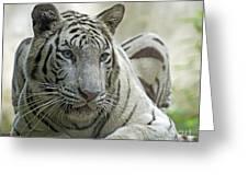 Big Cats 117 Greeting Card