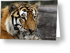 Big Cats 78 Greeting Card