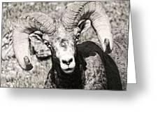 Big Horn Ram Bandw 5 Greeting Card