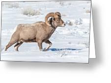 Big-horn Ram In Winter Greeting Card