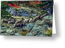 Big Horn Sheep - Close-up Greeting Card