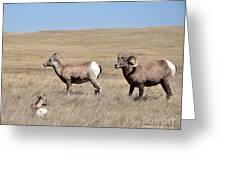 Big Horn Sheep Family Greeting Card