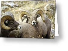 Big Horn Sheep Grazing Greeting Card