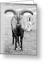 Big Moufflon Ram Greeting Card