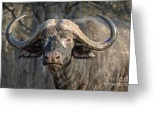 Big Old Bull Greeting Card