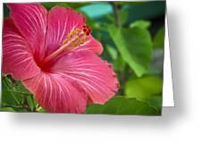 Big Pink Hibiscus Greeting Card
