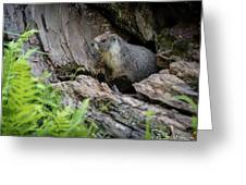 Big Tree Trail - Marmot - Sequoia National Park - California Greeting Card