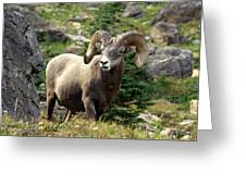 Bighorn 1 Greeting Card