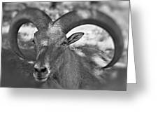 Bighorn Greeting Card