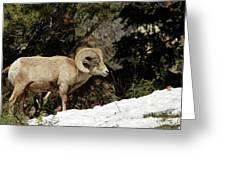 Bighorn In The Rockies Greeting Card