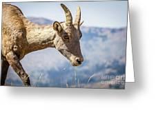 Bighorn In Yellowstone Greeting Card