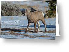 Bighorn Lamb 2 Greeting Card