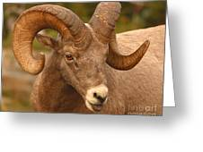 Bighorn Ram With Evident Disdain Greeting Card