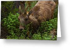 Bighorn Sheep Greeting Card by Barbara Schultheis