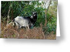 Kerry Mountain Goat Greeting Card