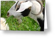 Billy Goat Horns Greeting Card