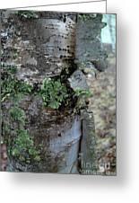 Birch Bark 1 Greeting Card