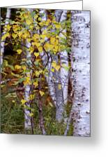 Birch In Autumn Greeting Card