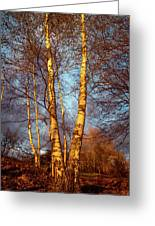 Birch Tree In Golden Hour Greeting Card