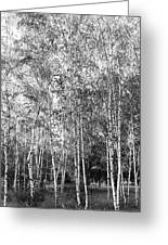 Birch Trees1 Greeting Card
