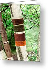 Birch Wood Tree  Greeting Card