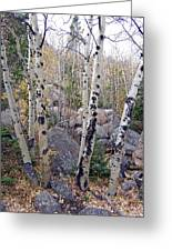 Birches In Colorado Greeting Card