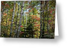 Birches In Fall Forest Greeting Card