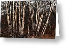 Birches In The Rain Greeting Card